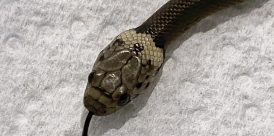 Image: Mann fant slange i salat fra butikken