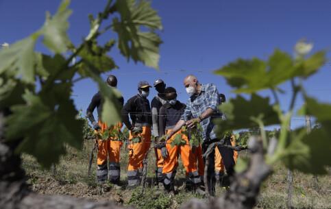 Image: En hjelpende hånd: Asylsøkere jobber på vingårder i Italia