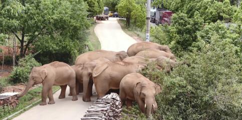 Image: Kinas rampete elefanter venter på treg tiåring