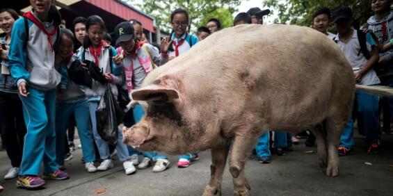 Image: Kina sørger over dødsfallet til kjent gris