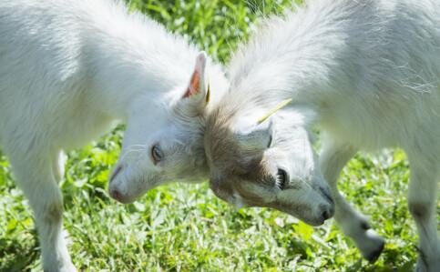 Image: Vegvesenet ansetter geitebukker